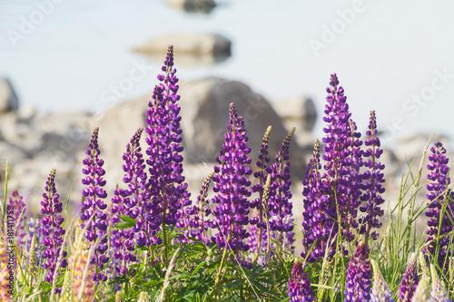 Aluminium Lavendel lupins lake tekapo new zealan