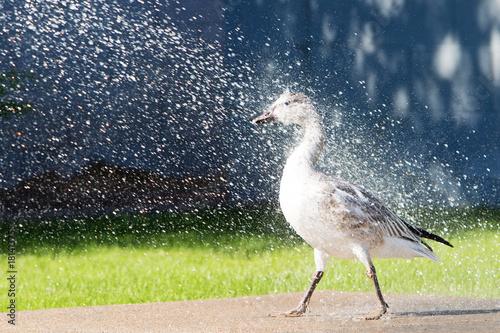Goose Being Sprayed With Garden Hose Poster