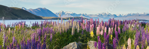new zealand lupins in spring - 181414794