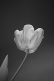 Beautiful pink tulip - 181416376