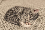 Cute little grey kitten sleeping - 181417733