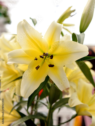 Yellow Lily Flowers in the Garden Poster