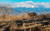 A Mule Deer Buck Walking in a Field with Mountains in the Background