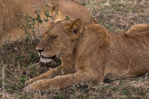 Löwe (Panthera leo) Poster
