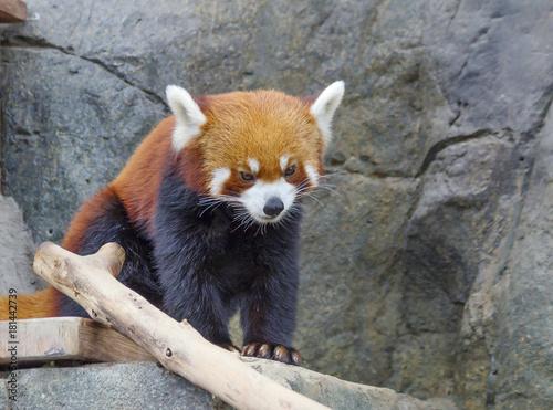 Plexiglas Panda Красная панда