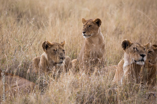 Fotobehang Lion Löwenrudel - Serengeti - Tansania
