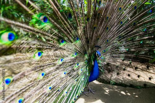 Aluminium Pauw Male peacock bird. Open feathers tail. Pavo Cristatus
