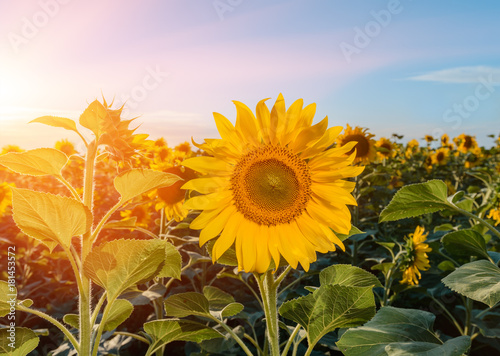 Fotobehang Purper Beautiful sunflowers in the field natural background, Sunflower blooming