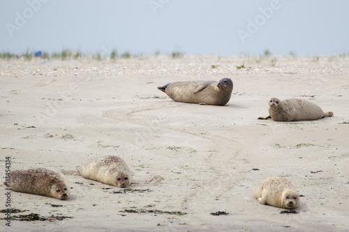Foto op Canvas Noordzee Seehunde (Phoca vitulina) auf einer Sandbank bei der nordfriesischen Nordseeinsel Juist in Deutschland, Europa.