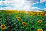 Sonnenblumen - 181454793