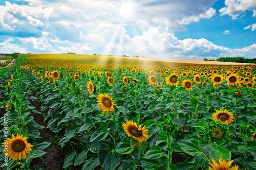 Fototapeta Sonnenblumen