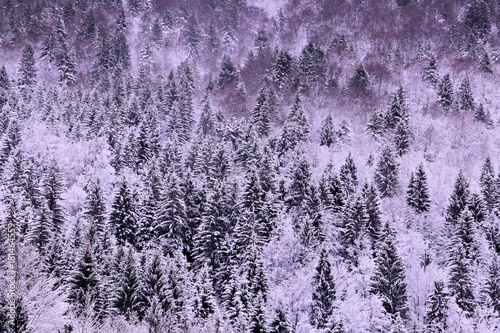 Fotobehang Purper spruce trees covered in first snow