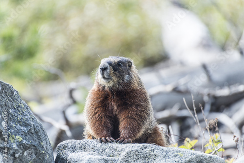 Fotobehang Fyle Yellow-bellied marmot