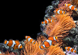 Sea anemone and clown fish - 181470741
