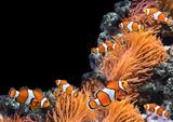 Sea anemone and clown fish - 181470741