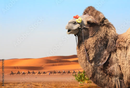 Tuinposter Marokko Camels in Sahara desert, Morocco