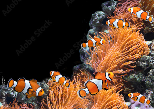 Sea anemone and clown fish Poster