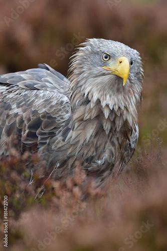 Plexiglas Eagle White-tailed Eagle in autumn colors. Eagle in autumn bog.