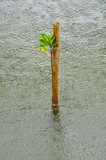 Mangrove seedlings in the rain, Planted in the sea Thailand.