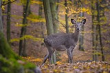 Sika deer, (Cervus nippon), female, autumn forest - 181479700