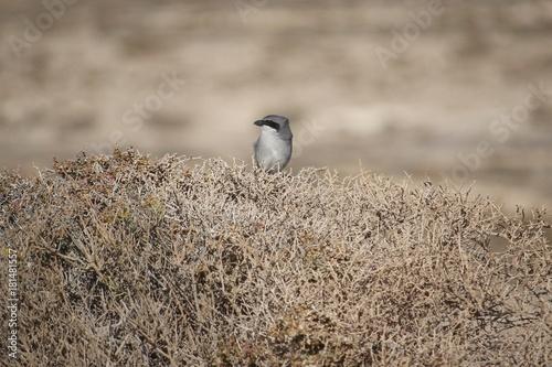 Deurstickers Canarische Eilanden Southern grey shrike on Canary island Tenerife