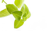 Indian borage, Plectranthus amboinicus - healthy plant - 181488788