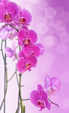 beautiful pink orchid on pink gradation with blur lights