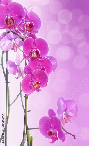 Fototapeta beautiful pink orchid on pink gradation with blur lights