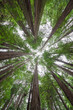 Look up from underneath tall Redwood Trees at Muir Woods National Monument