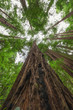 Looking up Redwood Tree Bark at Muir Woods