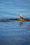 Seagul resting on a sea rock and blue water