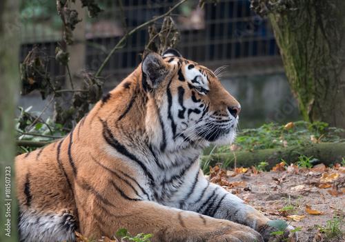 Fotobehang Tijger Close up view of a Siberian tiger