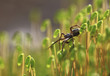 Running spider.A spider running over the heads of a flowering moss .