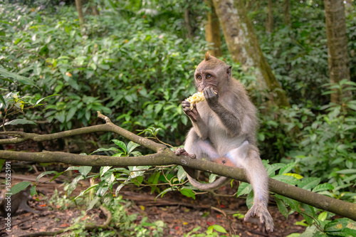 Staande foto Bali Crab-eating macaque also known as Long-tailed macaque in Ubud Monkey Forest, Bali
