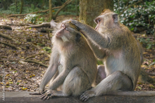 In de dag Bali Crab-eating macaque also known as Long-tailed macaque in Ubud Monkey Forest, Bali