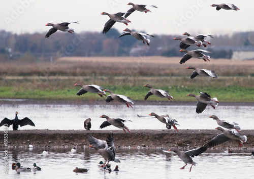 Greylag Geese in flight Poster