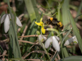 A bumblebee visiting a yellow flower in spring - 181539327