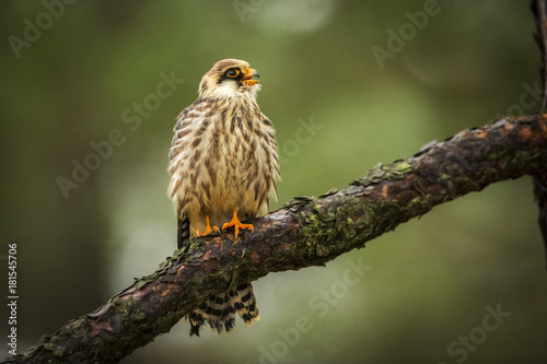 red-footed falcon Poster