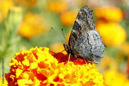 Plexiglas Pauw macro of butterfly collecting nectar on the marigolds