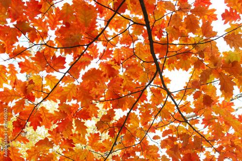 oaken yellow leaves - 181546502