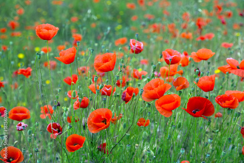 Fotobehang Klaprozen wild red poppies at mountain meadow