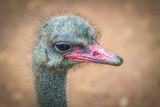 Ostrich - 181560398