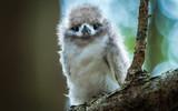 Fluffy Chick - White Tern - 181563738