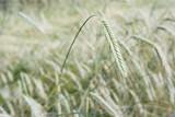 Ripe barley with ears. - 181578350