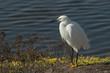 Quadro Snowy egret