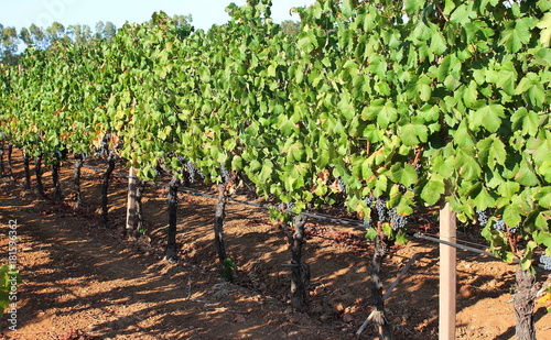 Plexiglas Wijngaard Vineyard in Sardinia