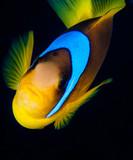 Red Sea clownfish - 181596516