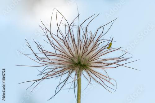 Closeup of the fruits of a pasque flower - 181602728