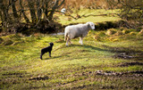 A newborn lamb with a new mother on farmland  on a sunny day in the Lake District, England, UK. - 181604750