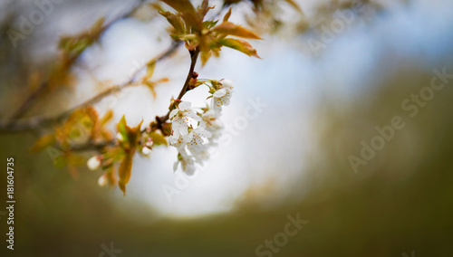 Fotobehang Kersen Soft focus image of white cherry blossom flowers on a tree in springtime. Shallow focus.
